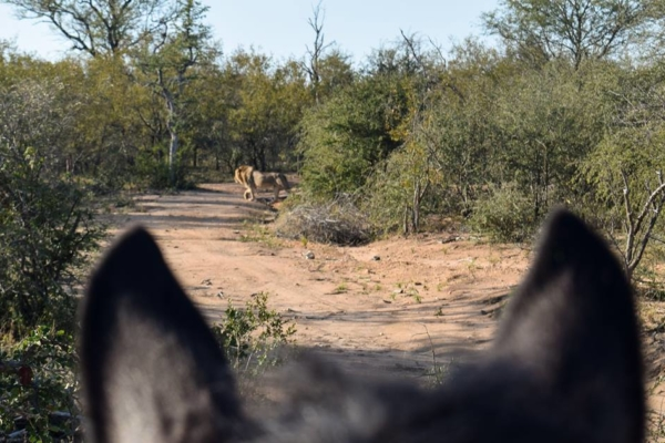 Lion encounter on horseback