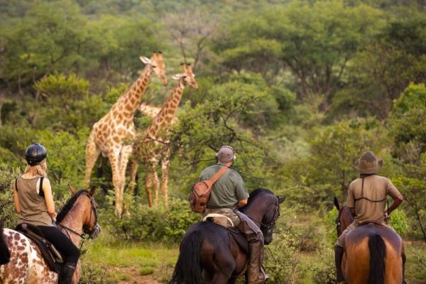 Horse riding with giraffe