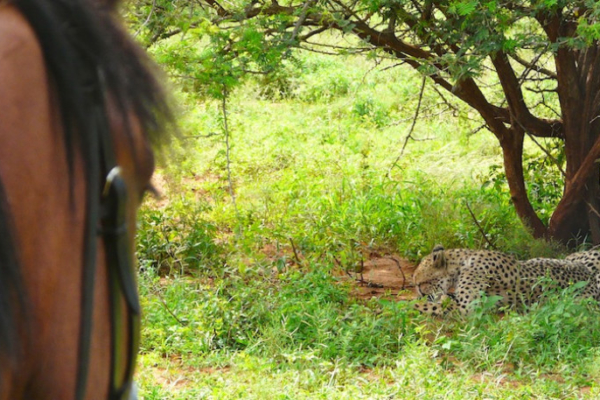 Encountering cheetah on horseback