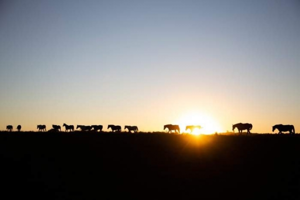 Horse silhouettes at sunset