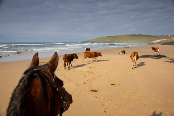 Horse looking at cows on beach