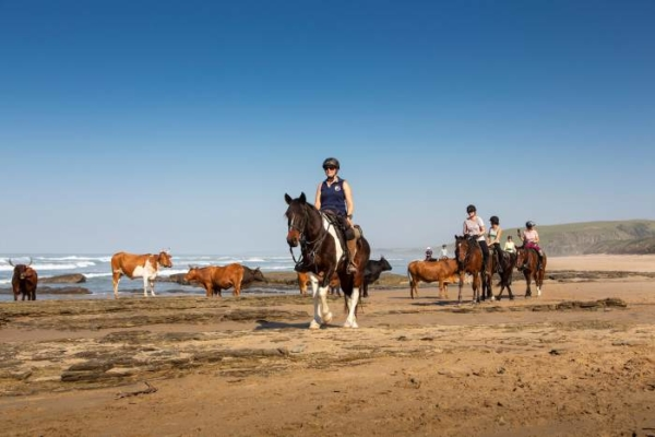 Horse riding on beach with cows