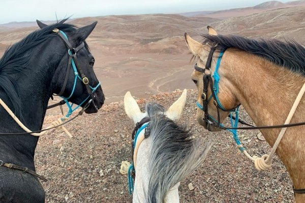three horses with blue halters in the desert