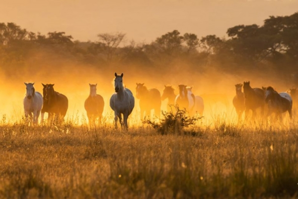 Horses galloping in dawn light