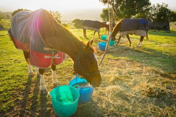 Horses eating on picket line