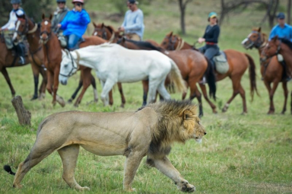 horse riding with lion