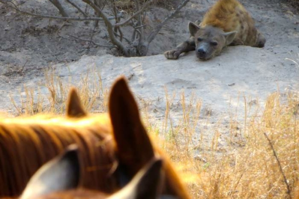 Encountering brown hyena on horseback