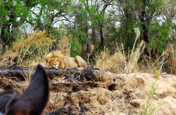 Sleeping lion seen through a horses ears