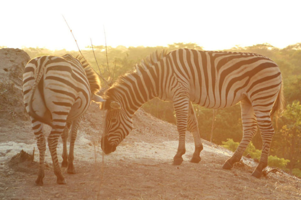 Zebras on your doorstep