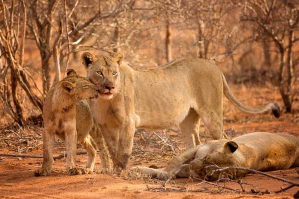 Lions seen on Big 5 Game Drive