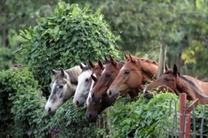Curious horses gazing over an ivy covered fence