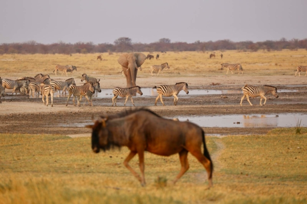 Wildebeest in front of zebra and elephant at waterhole