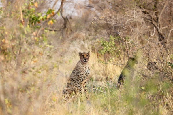 Cheetah sitting in long grass under bushes