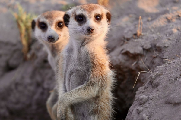 Two meerkats staring at camera