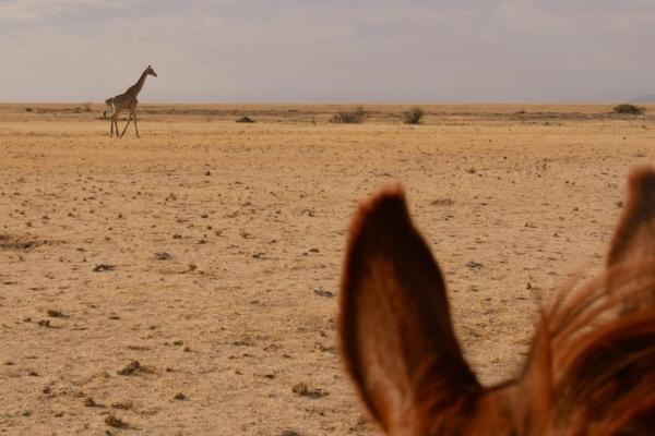 Desert adapted giraffe