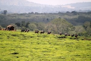 Horses riding along the Ugandan hillside