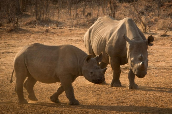 Two rhino in Africa