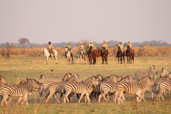 Zebra Herd with horse riders in the background
