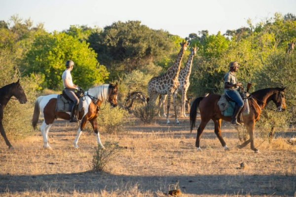 Horse riding with giraffe