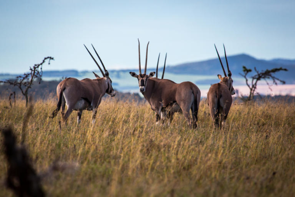 Oryx are prolific on the plains