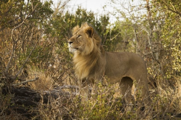 Chyulu Hills is home to a variety of wildlife including lion