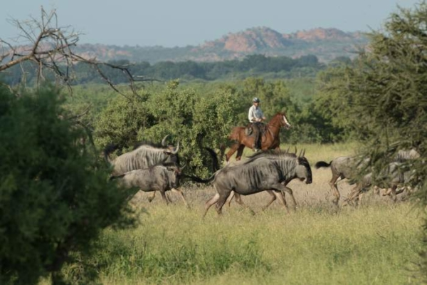 Wildebeest encounter on horseback
