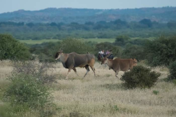 Horse riders with Eland