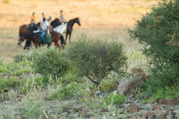 Horseback cheetah encounter