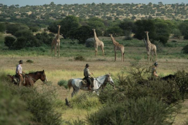 Giraffe encounter on horseback