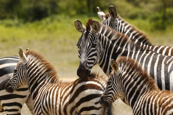Zebra in the Serengeti