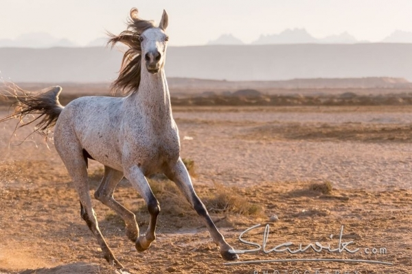 Grey Arabl horse in desert