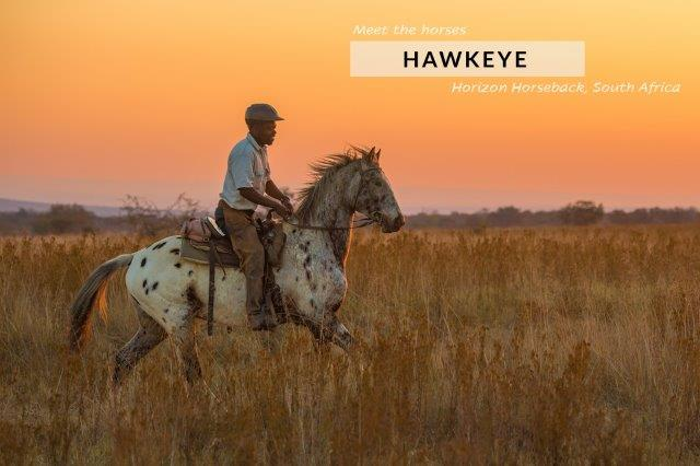 Appoloosa horse cantering at sunset