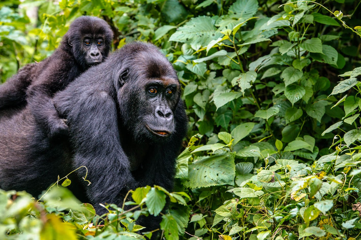 Gorilla with baby in Uganda