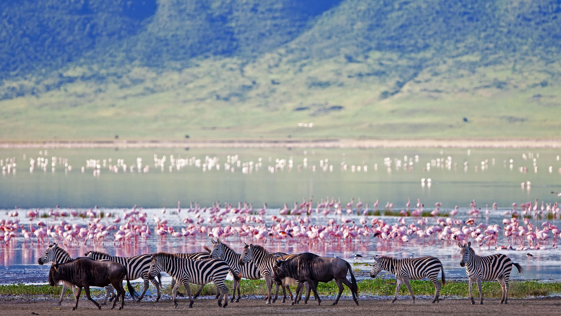 Zebra and wildebeest in the Ngorongoro Crater