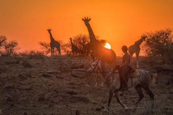 horse riding with giraffe at sunset