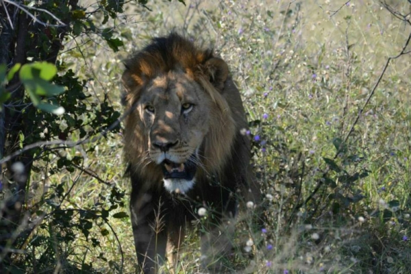 Male lion in the Kruger