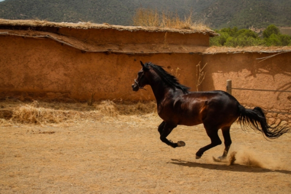 Dark horse cantering in front of clay building