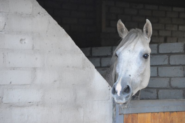 White horse peeking over stable door