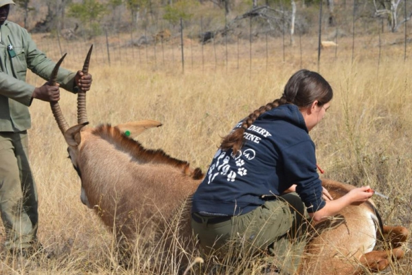 Wildlife vet with sable antelope