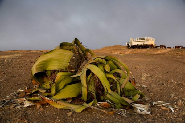 Welwitschia plants in Namibia